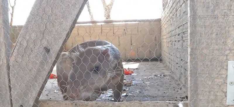 Paca está entre os animais transferidos — Foto: TVCA/Reprodução