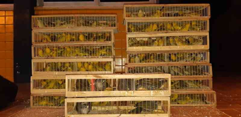 Homem é preso com 280 pássaros silvestres escondidos na carroceria de carro na BR-316