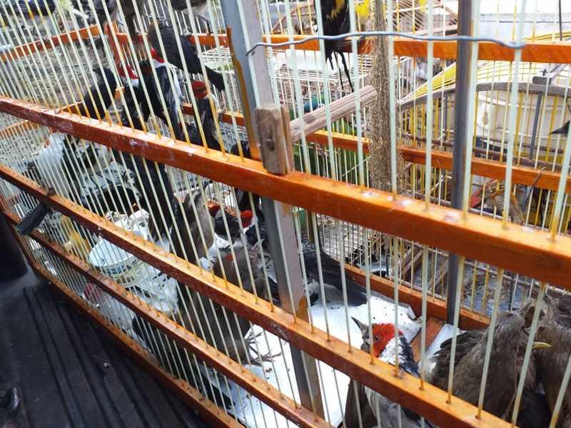 As aves foram encaminhadas para uma reserva ambiental — Foto: Divulgação/Polícia Ambiental