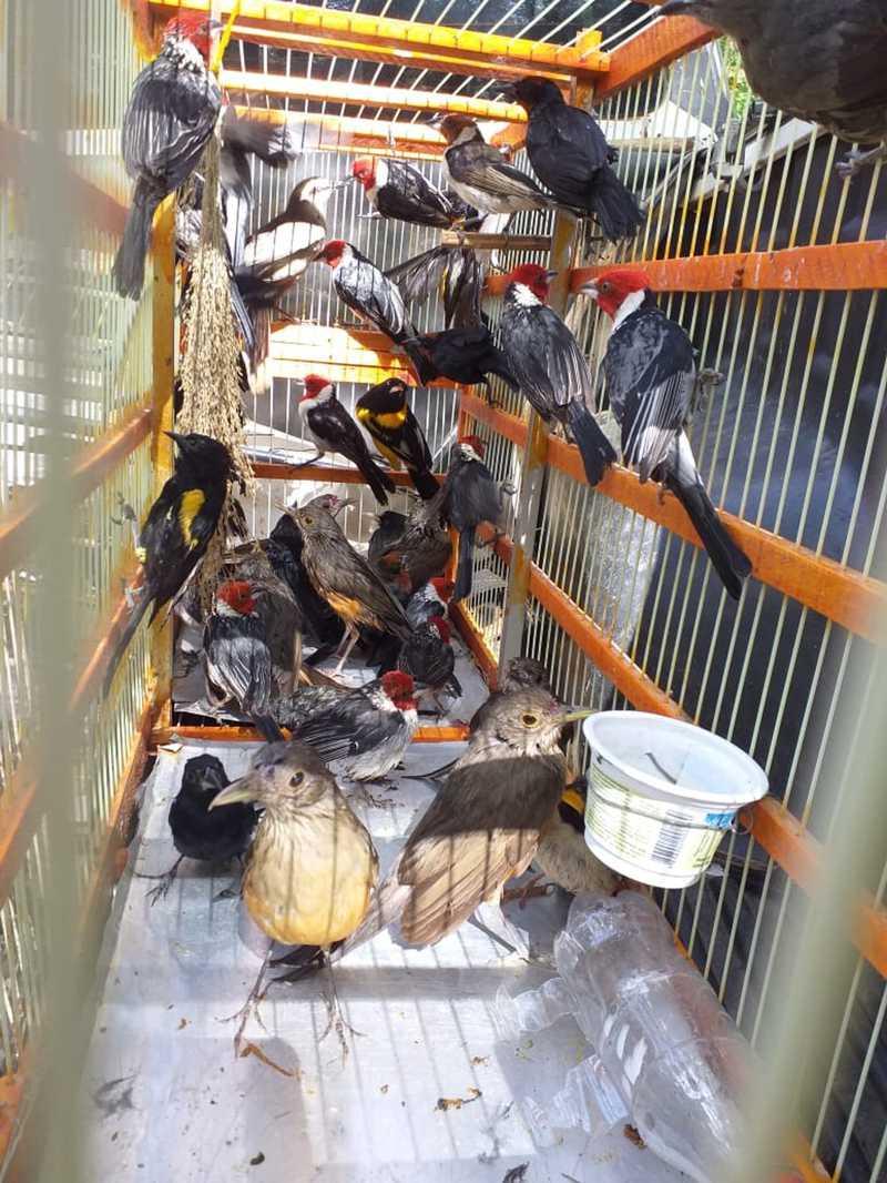Polícia Ambiental apreende 110 pássaros que estavam presos em gaiolas — Foto: Divulgação/Polícia Ambiental