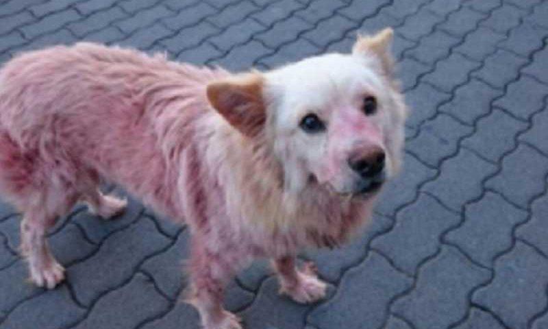 Maus-tratos: cão com maxilar partido e pintado com tinta vermelha de spray na Madeira