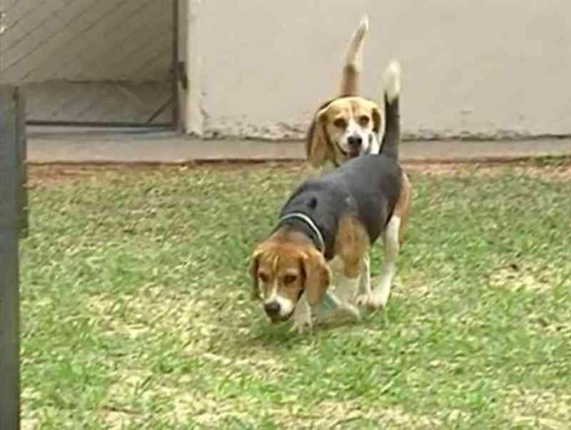 UEM é multada em R$ 10 mil por ter utilizado cães da raça beagle em pesquisas do curso de odontologia