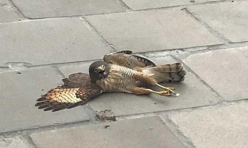Gavião estava caído em calçada no Centro de Novo Hamburgo — Foto: Gustavo Muller/Arquivo Pessoal