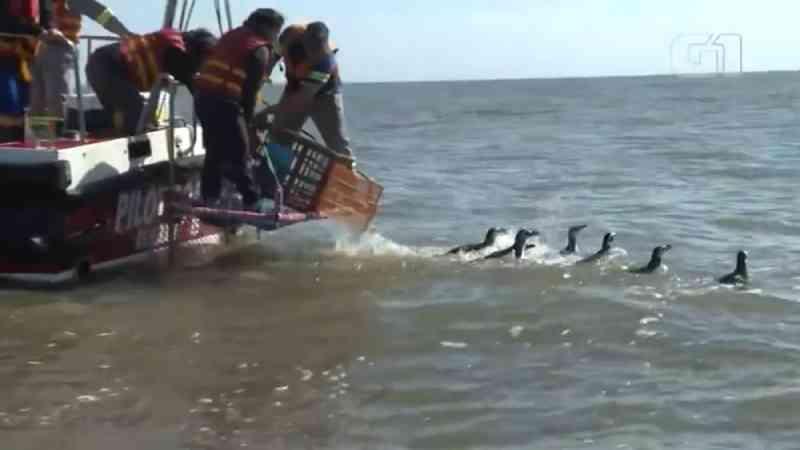 Dez pinguins-de-magalhães são devolvidos ao mar, em Rio Grande, RS; veja o vídeo