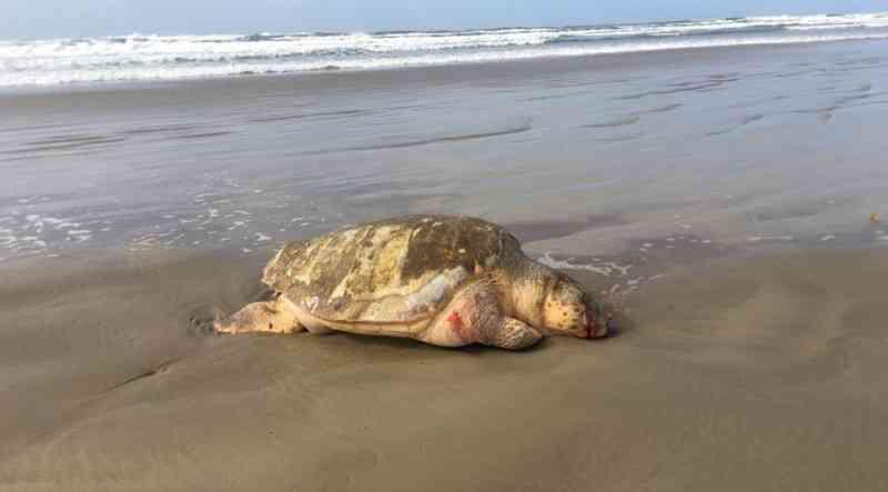 Tartaruga é encontrada morta na orla do Balneário Rincão, SC