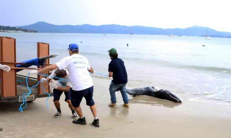 Baleia é encontrada morta na praia de Jurerê, em Florianópolis