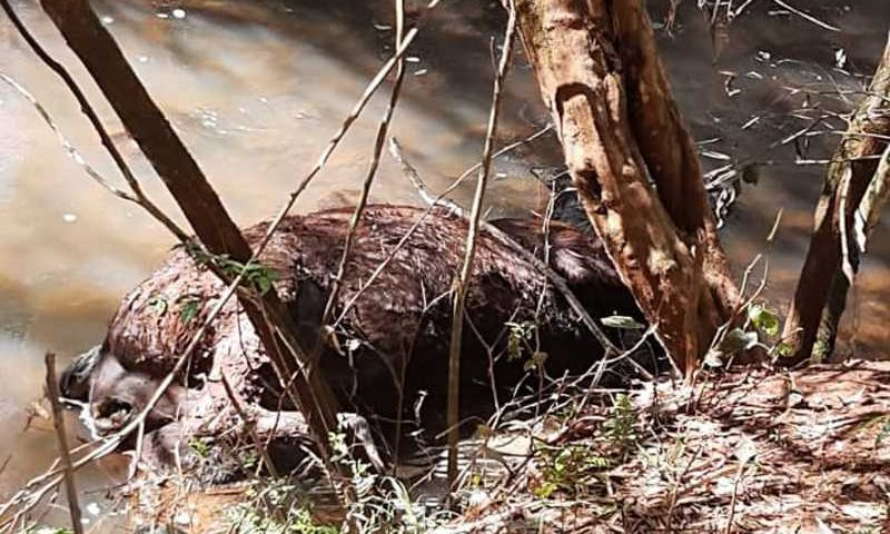 ONG Faunamiga encontra égua morta em córrego no Loteamento Parizotto, em Capinzal, SC