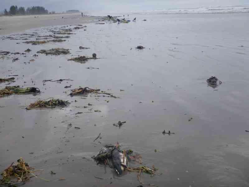 Mais de 100 pinguins são encontrados mortos em praia no litoral de SP