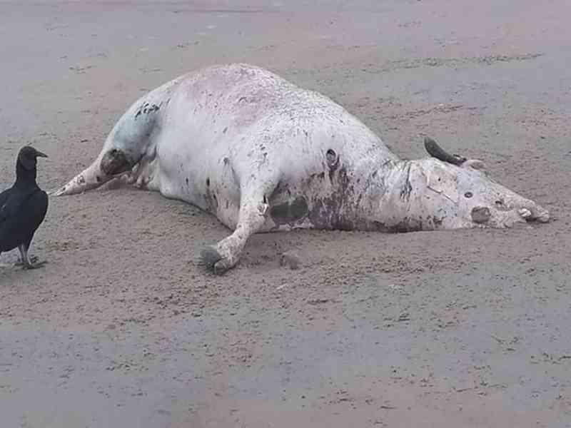 Búfalo aparece morto na beira do mar e intriga moradores em Mongaguá, SP