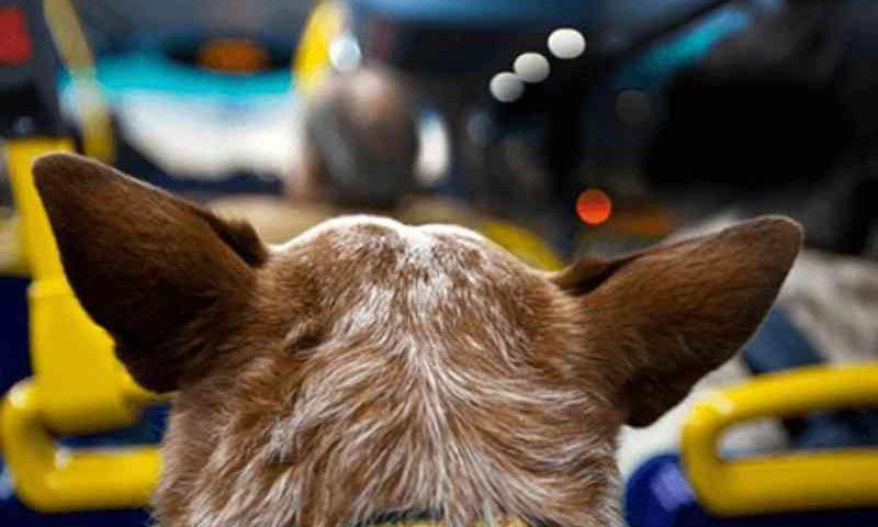 """""""Não adianta levar um pit bull na coleira porque pode causar uma chacina no ônibus, apesar de conhecer muitos cães dessa raça que são bastante dóceis"""", brincou o vereador Toniolo, líder do prefeito, ao expor o projeto. (Foto: imagem meramente ilustrativa)"""
