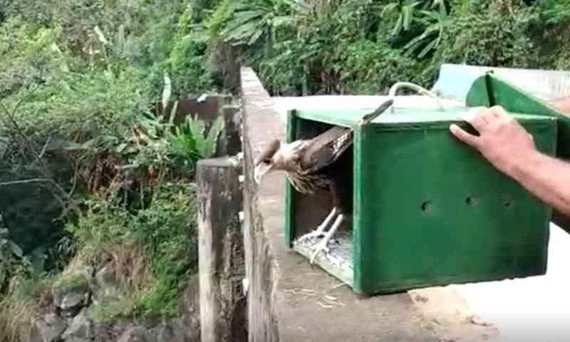 Após tratamento, gavião que ficou preso em cerca de arame farpado é devolvido à natureza; vídeo