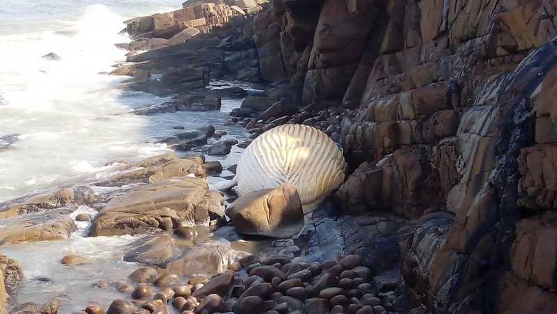 Baleia jubarte é encontrada em rochedo na Ilha do Cardoso, SP — Foto: Fabiano Cubas/IPeC