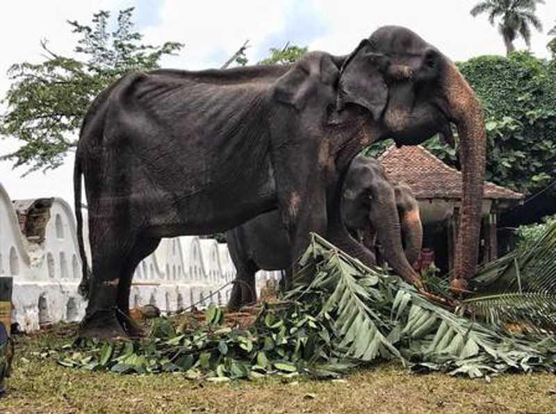 Ao menos 60 elefantes participam do festival Perahera, no Sri Lanka Foto: Reprodução/ Save Elephant - Lek Chailert