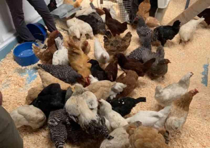 Santuário Woodstock resgata cerca de 100 galinhas que estavam à venda no Craiglist