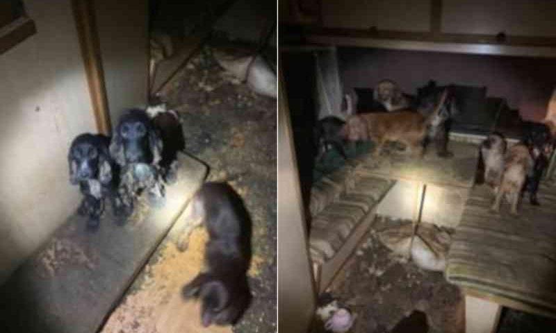 Choque quando quase 80 cães foram encontrados vivendo na 'negligência e miséria' no norte da Suécia