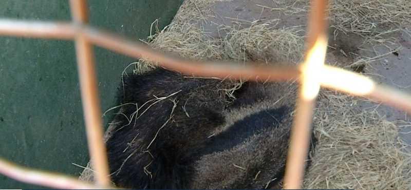 Tamanduá teve queimaduras na pele e se recupera lentamente — Foto: Reprodução/TV Anhanguera