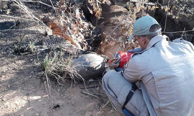 Jabuti foi resgatado de queimada pelo Corpo de Bombeiros — Foto: Divulgação/Corpo de Bombeiros