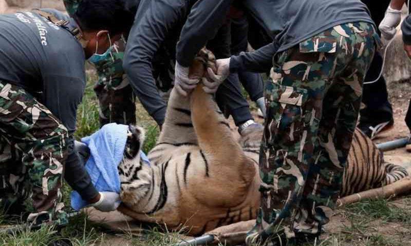 Tigres resgatados de templo na Tailândia morrem após suspeitas de tráfico de animais