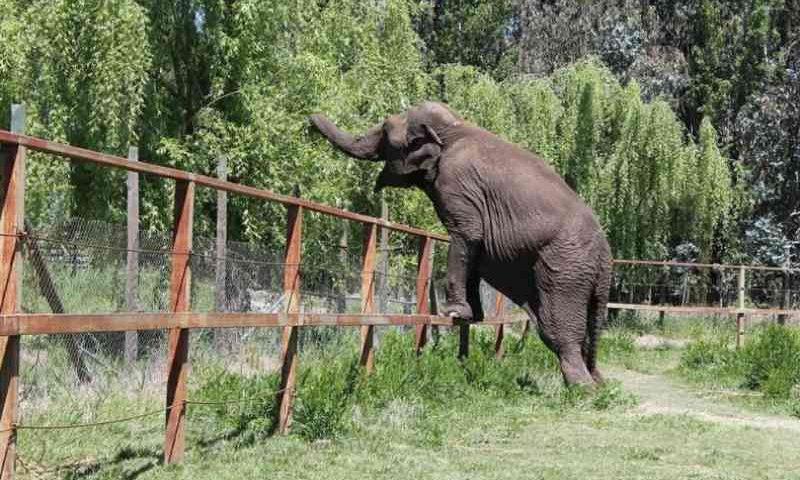 Explorada em circo, elefanta é resgatada e passa por Campinas, SP
