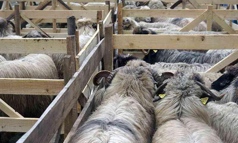 Exportações romenas de ovinos vivos continuam, apesar das advertências da UE
