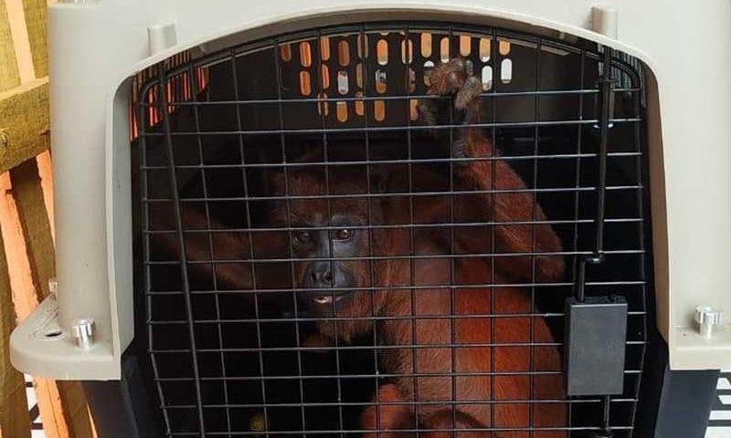 Macaco foi encontrado em casa do Conjunto Habitacional Cidade do Povo — Foto: Divulgação/Batalhão de Policiamento Ambiental