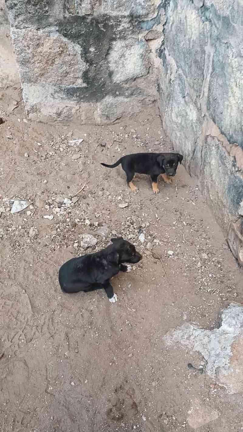 Bombeiros resgatam filhotes de cães presos por tampa de concreto em Santana do Ipanema, AL