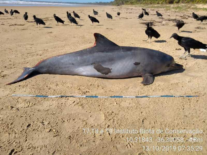 Golfinho manchado com óleo é encontrado morto em Feliz Deserto, Alagoas. — Foto: Divulgação/Instituto Biota