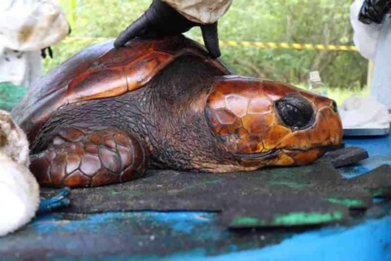 Que fim levou a tartaruga que virou símbolo do desastre ambiental