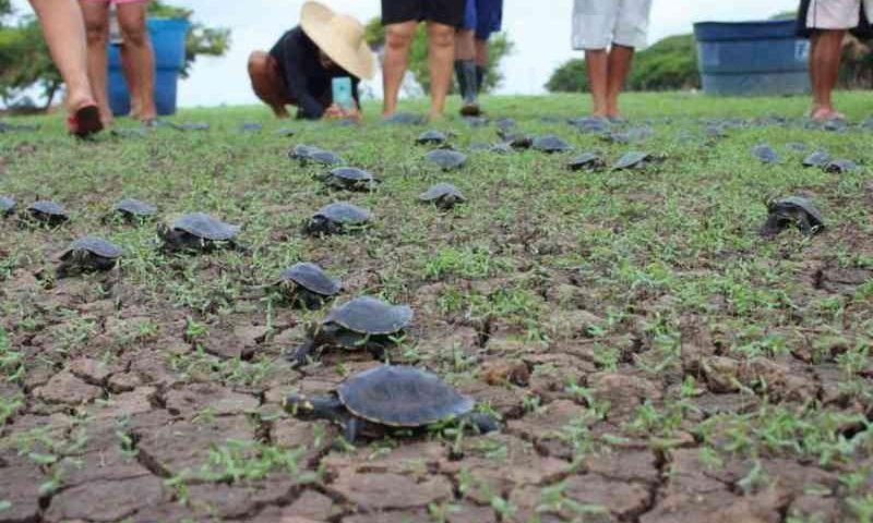 Mais de mil filhotes de quelônios são devolvidos à natureza, em Nhamundá, AM