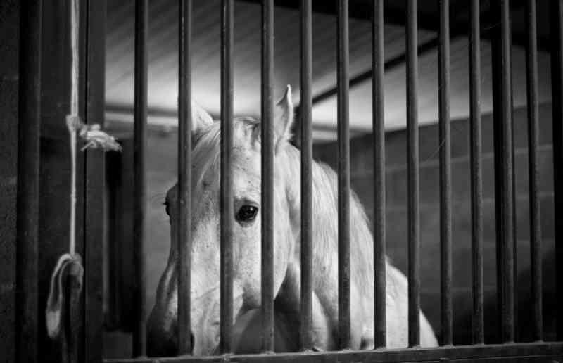 Investigação secreta revela maus-tratos e abate em massa por trás da indústria da corrida de cavalos na Austrália