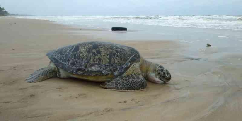 Tartaruga de mais de um metro é encontrada morta em praia de Ilhéus, na Bahia; casos chegam a 117 na região