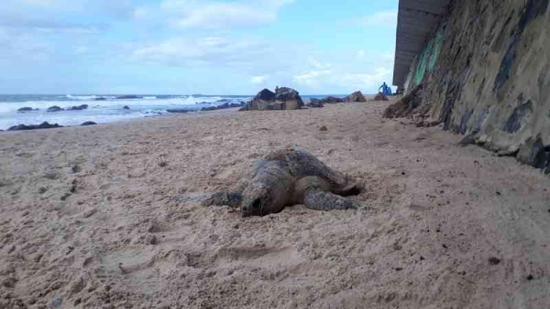 Tartaruga é encontrada morta em praia de Ondina, em Salvador, BA