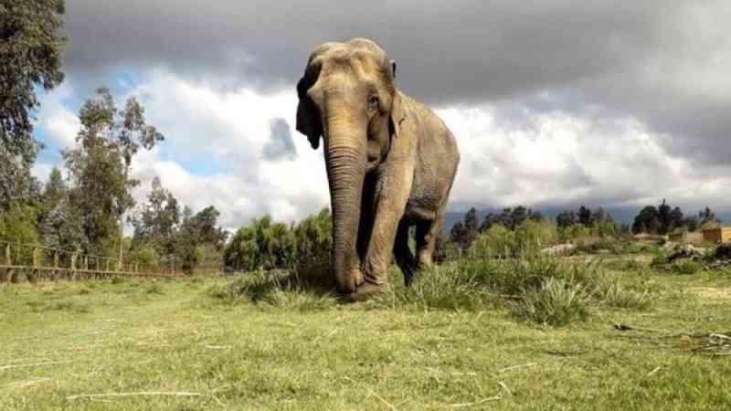 Como transportar um elefante de avião? A viagem de Ramba ao Brasil, após décadas de maus-tratos
