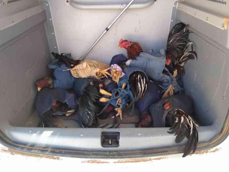 Onze galos são resgatados e dois homens são presos suspeitos de participarem de rinha no Ceará