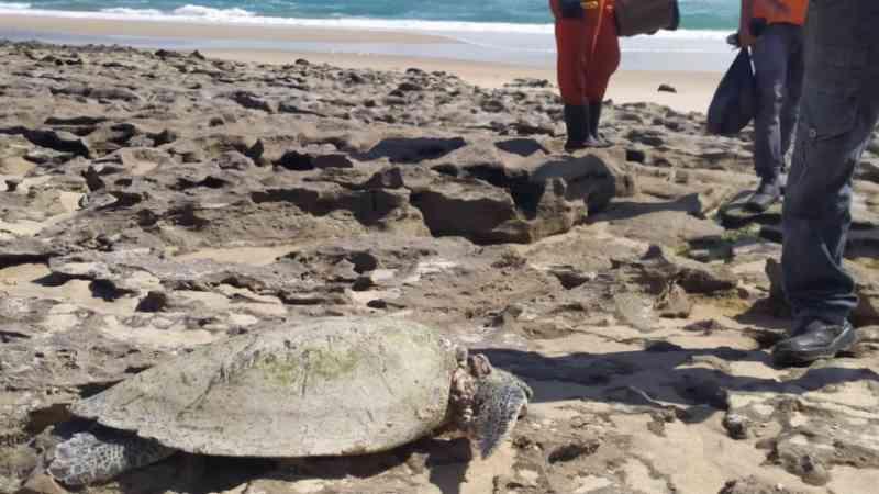 Tartaruga é encontrada morta na Sabiaguaba durante trabalho de retirada de óleo, em Fortaleza, CE