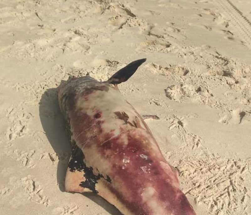 O animal foi resgatado pela Prefeitura de São Gonçalo do Amarante. — Foto: Reprodução / Chirley Mara