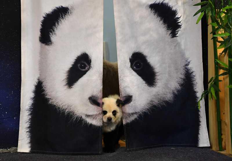 Cachorrinho chow chow pintado como um panda em café de Chengdu, na China — Foto: Zhang Lang/CNS via Reuters
