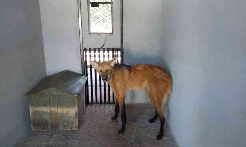 Lobo-guará foge do zoológico de Brasília (DF) enquanto passava por tratamento veterinário