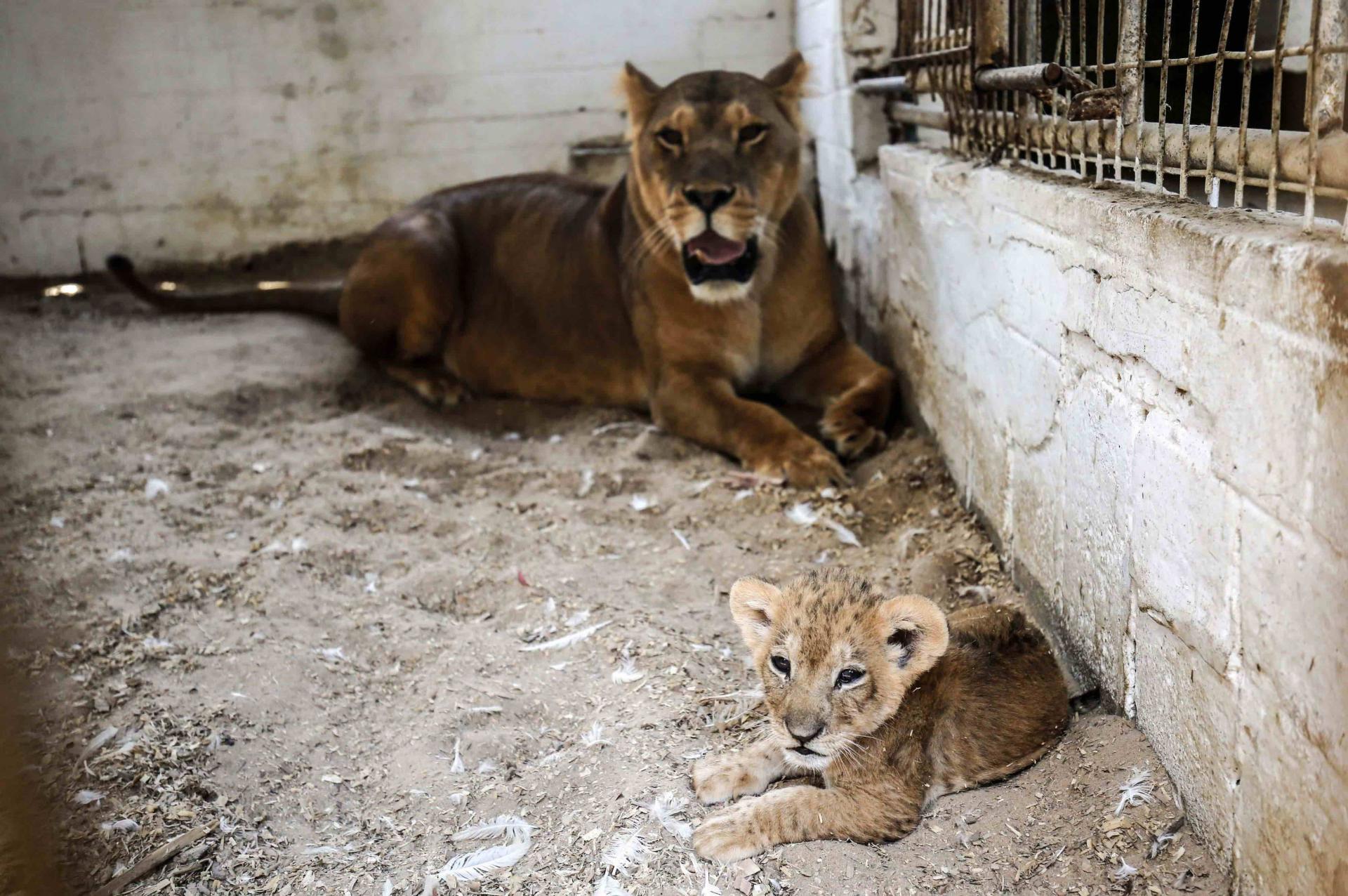 Zoológico 'preocupante' reabre em Gaza meses depois de fechar