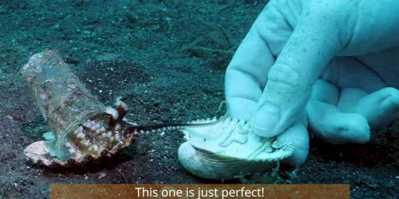 Vídeo mostra mergulhador convencendo polvo bebê a trocar 'casa de lixo plástico' por concha