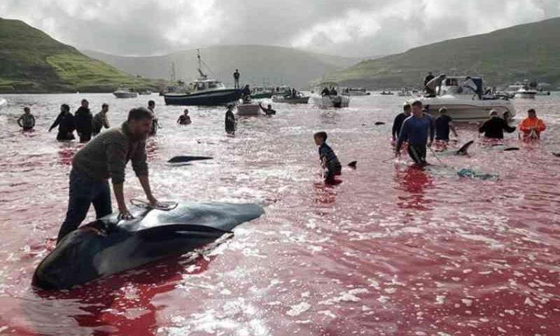 Banho de sangue: mais de 100 baleias são massacradas em ritual; imagens fortes