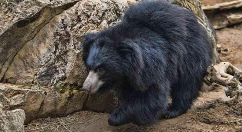 Caçador é preso na Índia acusado de matar ursos e comer seus pênis como afrodisíaco