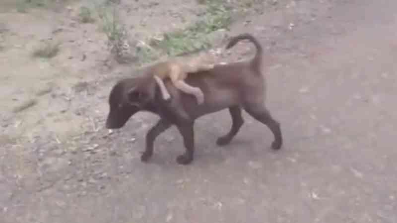 Cão carrega um bebê macaco abandonado de costas para a delegacia