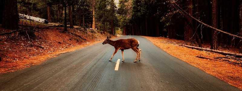 Só numa noite registaram-se 12 colisões com animais selvagens no pequeno Luxemburgo