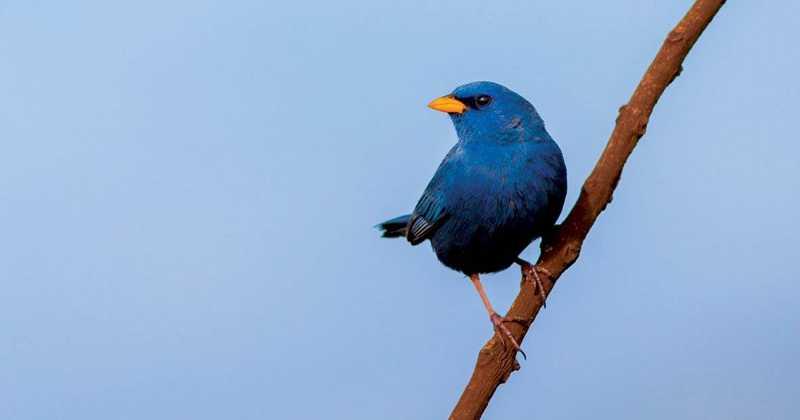 Campainha-azul Eduardo Franco/Wikiaves