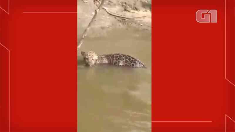 Filhote de onça-pintada preso em anzol e observado pela mãe é resgatado por pescador em MS; vídeo