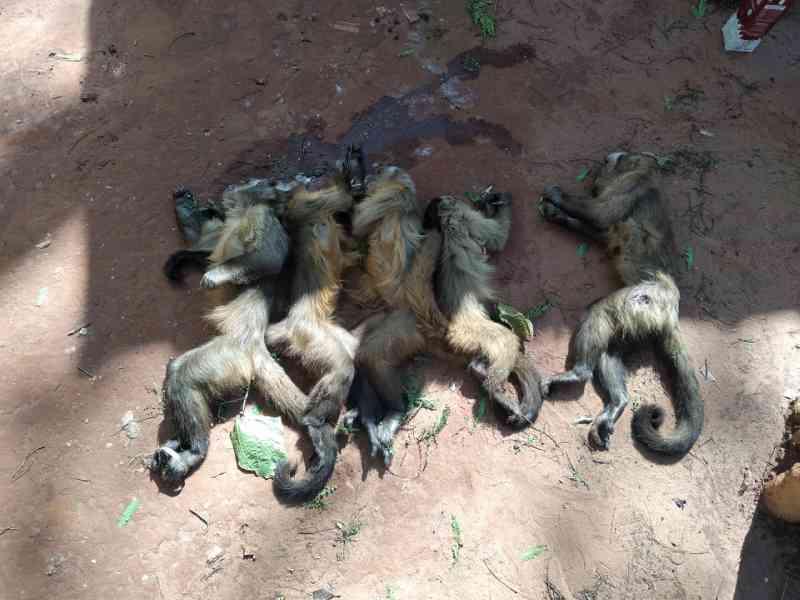 Macacos são encontrados mortos a tiros e possivelmente envenenados em Mundo Novo, MS