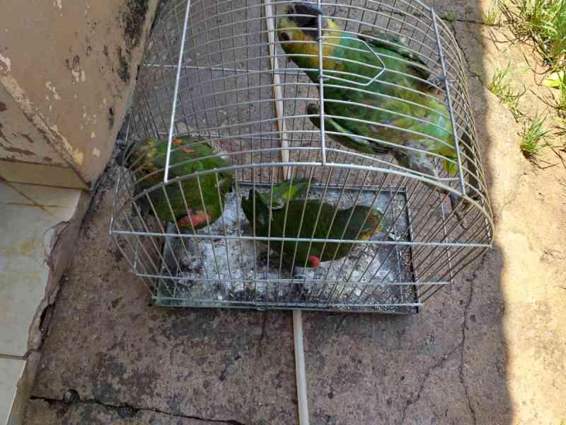 Mulher é autuada por crime ambiental e multada em MS por cortar asas de papagaios e mantê-los em gaiolas