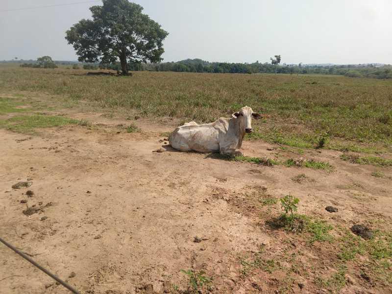 Vinte bois foram achados desnutridos e 10 mortos em uma fazenda em Juar — Foto: Polícia Militar de Juara (MT)/Divulgação
