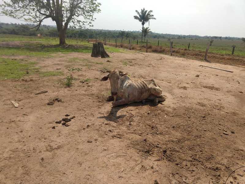 Vinte bois foram achados desnutridos e 10 mortos em uma fazenda em Juara — Foto: Polícia Militar de Juara (MT)/Divulgação